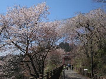 御岳山参道の山桜と枝垂桜